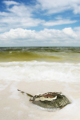 Ship Island Horseshoe Crab
