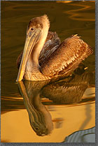 Pelican Reflection