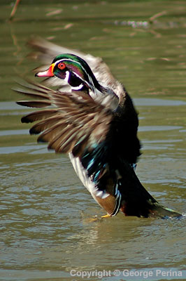 Dance of the Wood Duck